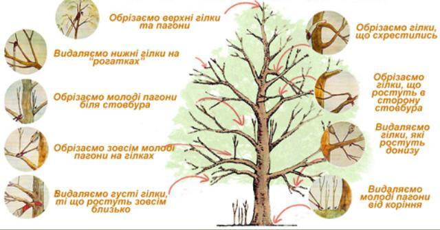 Основні принципи обрізки дерева