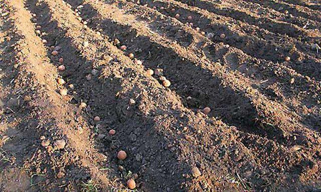 Посадка картоплі в гребінь
